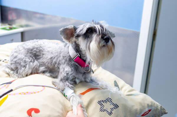 A hipertermia tünetei és kezelése kutyáknál - HáziPatika
